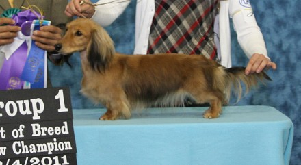 Upcoming show puppies Ukcchampionkira.jpg.opt440x241o0,0s440x241